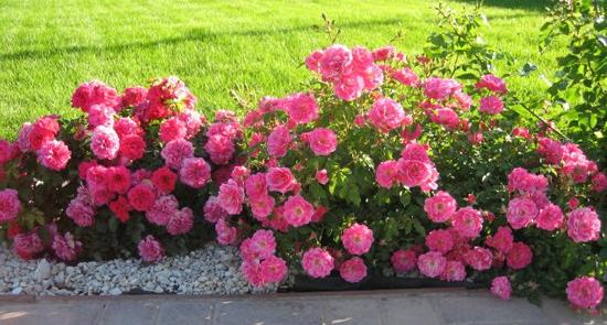 Сорта и виды полиантовых роз