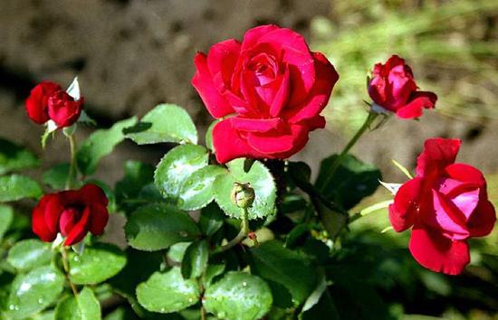 Как вырастить розы в открытом грунте
