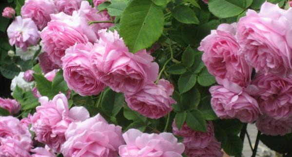 Уход за розами посаженными прошлыми годами