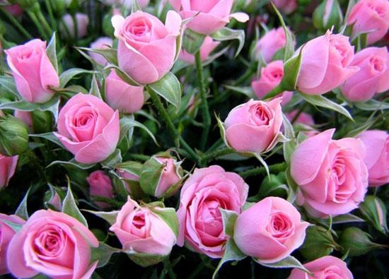 Роза - королева в саду