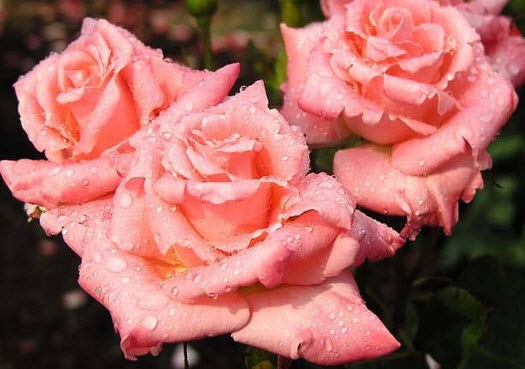 Посадка роз, уход за розами