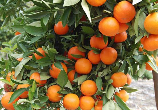 Выращиваем цитрусовые на подоконнике