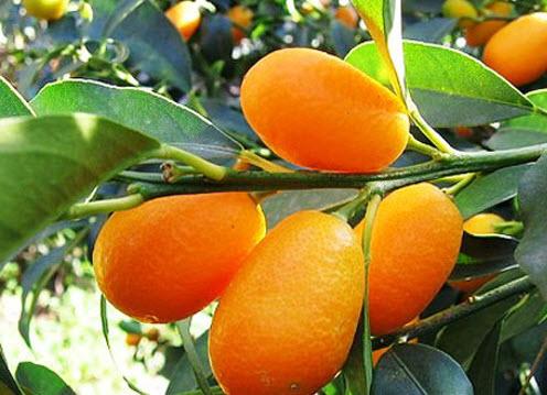 Условия для выращивания апельсинов 577