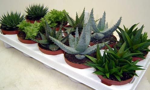 Полезные растения в доме или Аптека на подоконнике