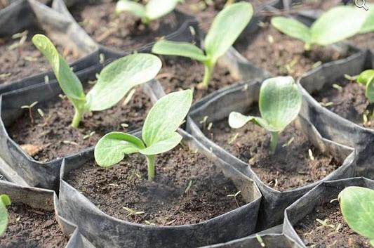 Выращиваем кабачки из семян