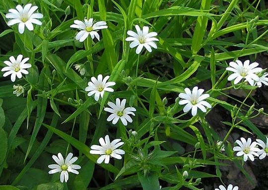 Мокрица огородная - полезный сорняк