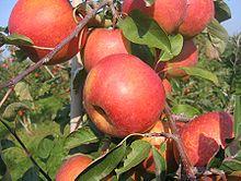Как привить яблоню за кору