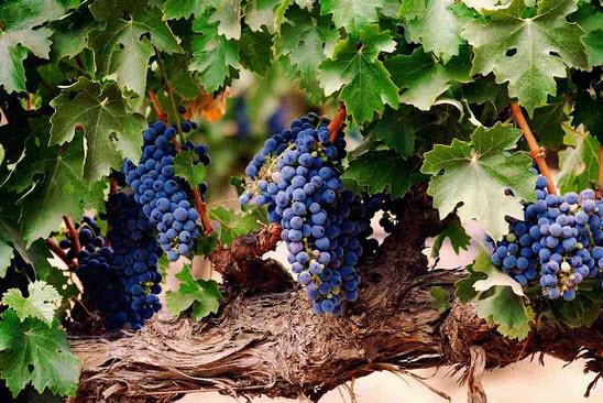 Выращивание и уход за виноградной лозой