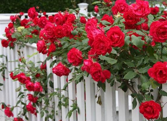 Роза крымская - вред и польза