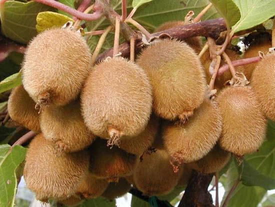Актинидия - лиановое растение