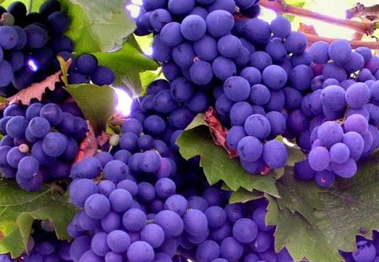 Виноград - вред и польза