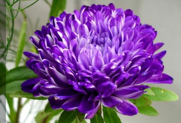 Астра - звездный цветок