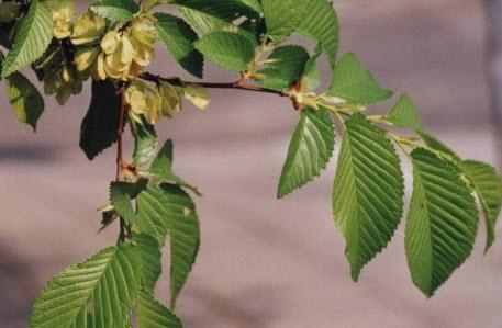 Гагения абиссинская - польза и вред