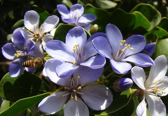 Гваяковое дерево - польза и вред