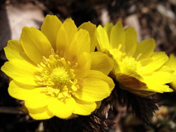 Горицвет весенний - польза и вред