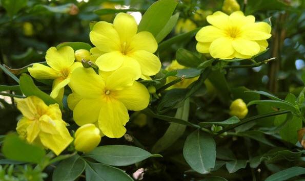 Желтый жасмин - вред и польза