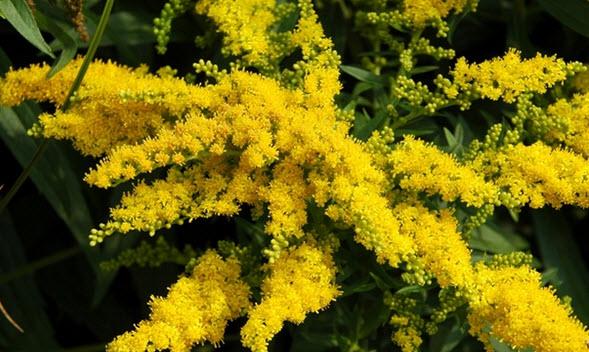 организация расположенные цветок цветет как радиола но крунные листья встречу