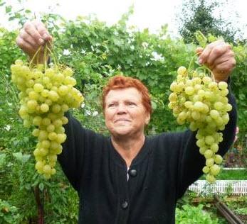 Куда лучше высадить виноград