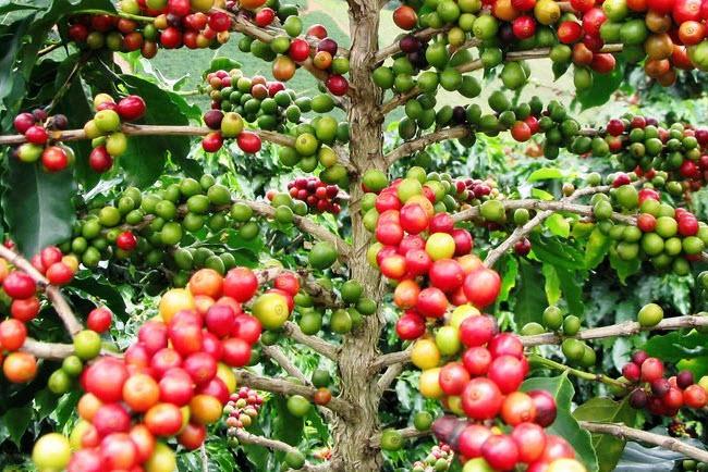 Кофейное дерево - вред и польза