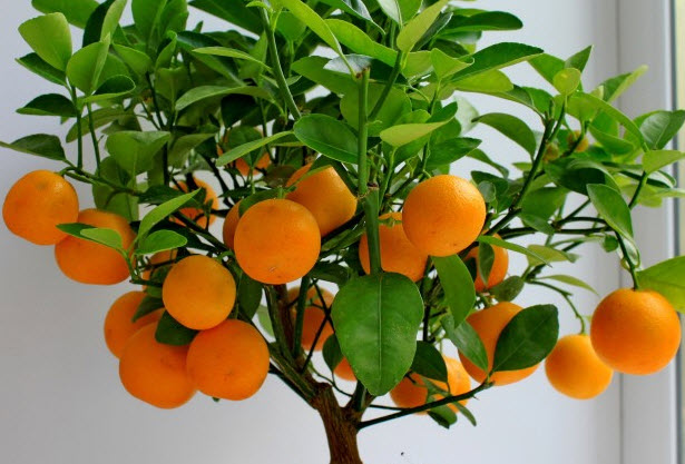 Как вырастить апельсиновое дерево