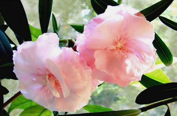 Олеандр обыкновенный — вечнозелёный, красиво цветущий кустарник