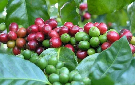 Кофейное дерево. Реально ли вырастить самому