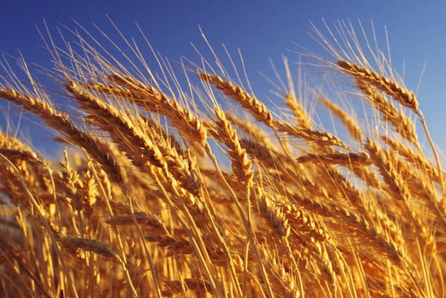 Пшеница - вред и польза