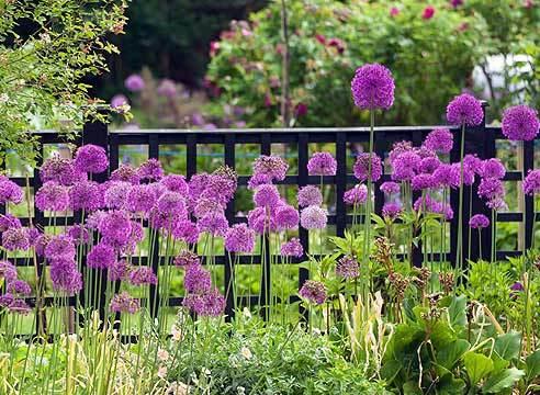 Лук декоративный - в сад или в огород