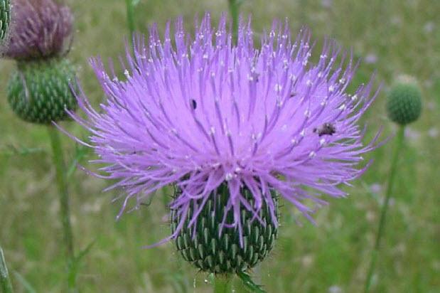 Полезные свойства ястребинки волосистой