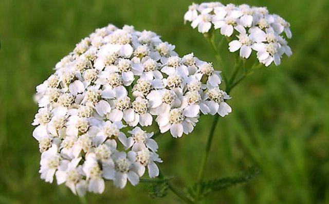 Тысячелистник - лекарственное растение