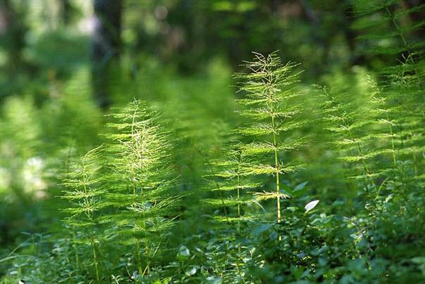 Полезные свойства хвоща полевого