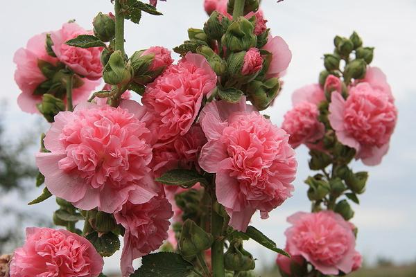Шток-роза, полезные свойства, вред