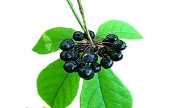 Выращивание элеутерококка