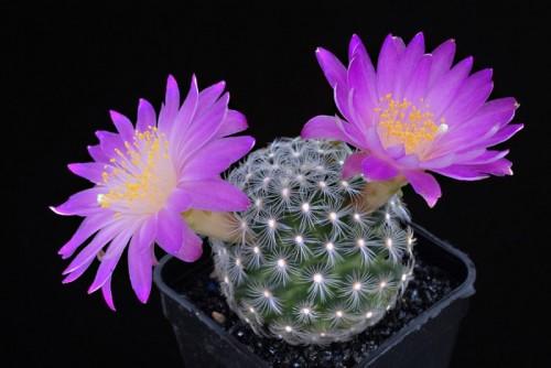 Маммиллярия - равнинный кактус