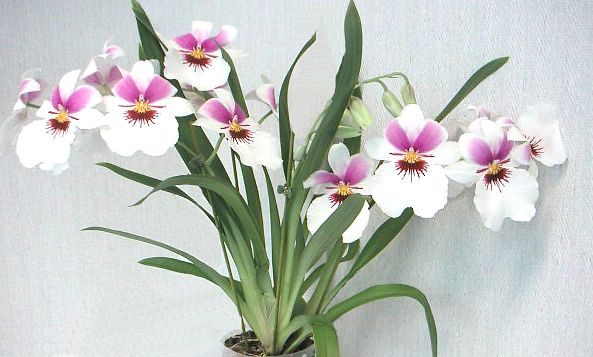 Орхидея мильтония. Секреты выращивания