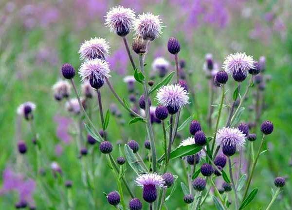Бодяк полевой - сорняк который лечит
