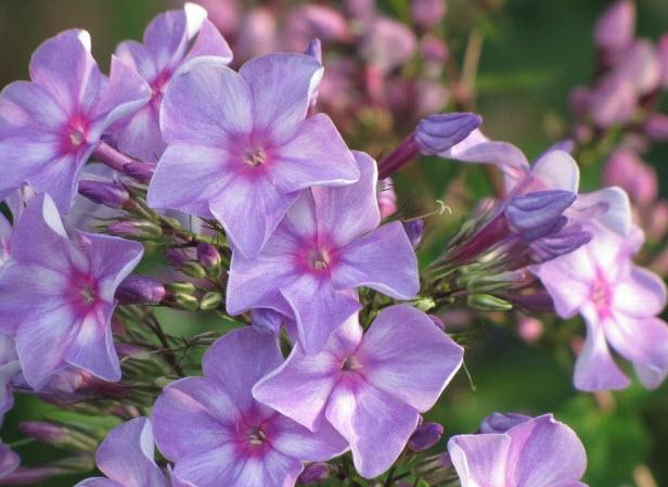 Флоксы - садовые цветы