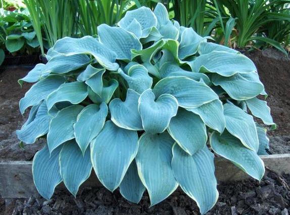 Хоста - декоративное растение