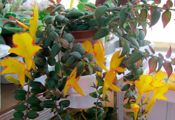 Колумнея – красивоцветущее комнатное растение