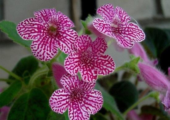 Колерия – декоративный комнатный цветок