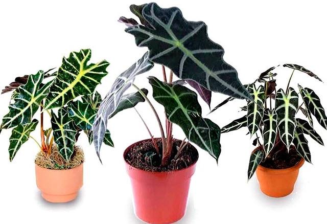 Алоказия - уход за ядовитым растением