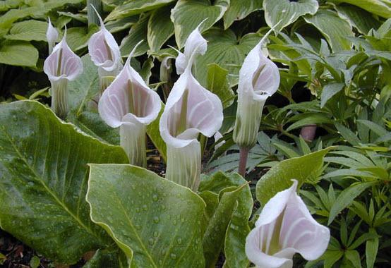 Аризема - комнатное ядовитое растение