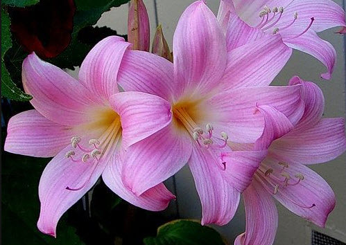 Луковичное растение - амариллис белладонна