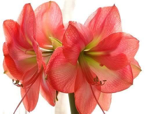 Амариллис - красивое комнатное растение