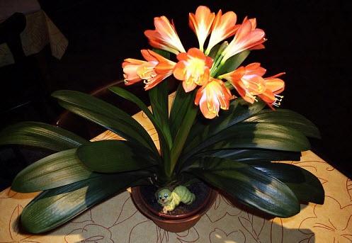 Кливия киноварная - ядовитый комнатный цветок
