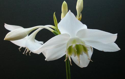 Эухарис - красивоцветущее ядовитое растение