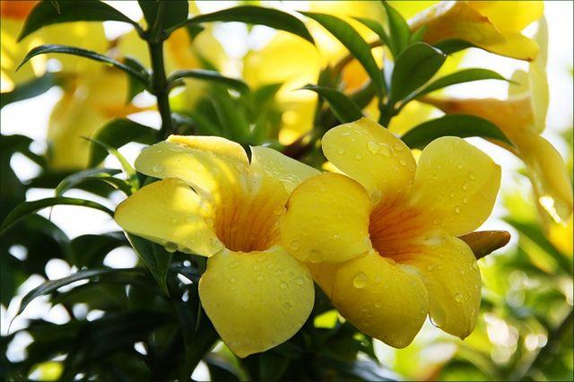 Алламанда - экзотическое, ядовитое, красивое растение