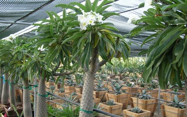 Пахиподиум - древовидное растение
