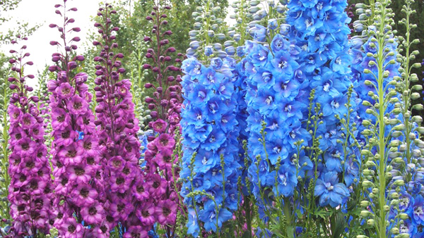 Фото многолетних цветов до одного метра