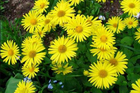 Дороникум – травянистый многолетник